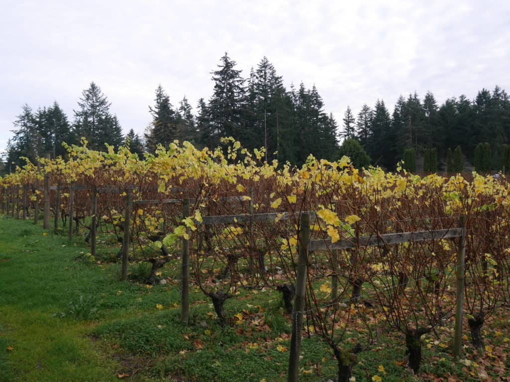 Washington State AVAs Vineyard in fall