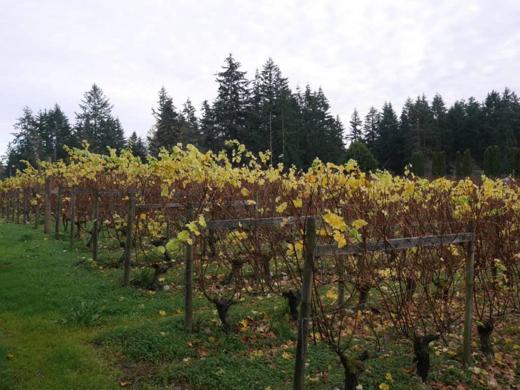 Washington State AVAs Vineyard in fall