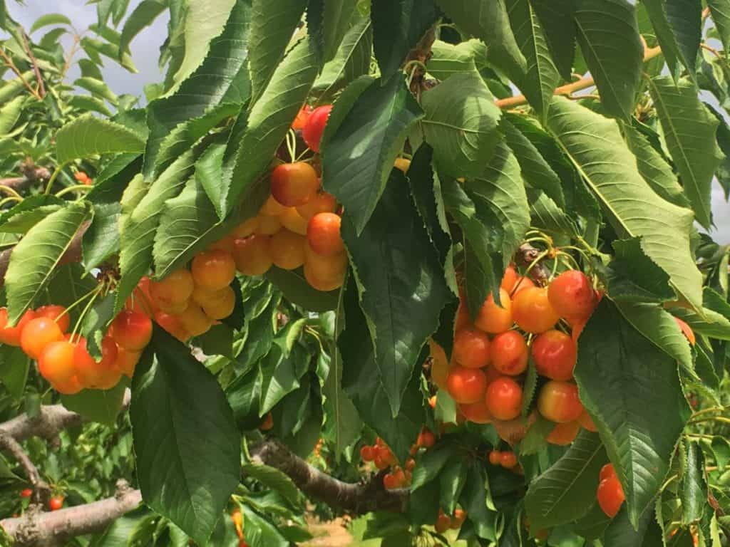 unch of cherries Things to do in Kelowna: Cherry picking