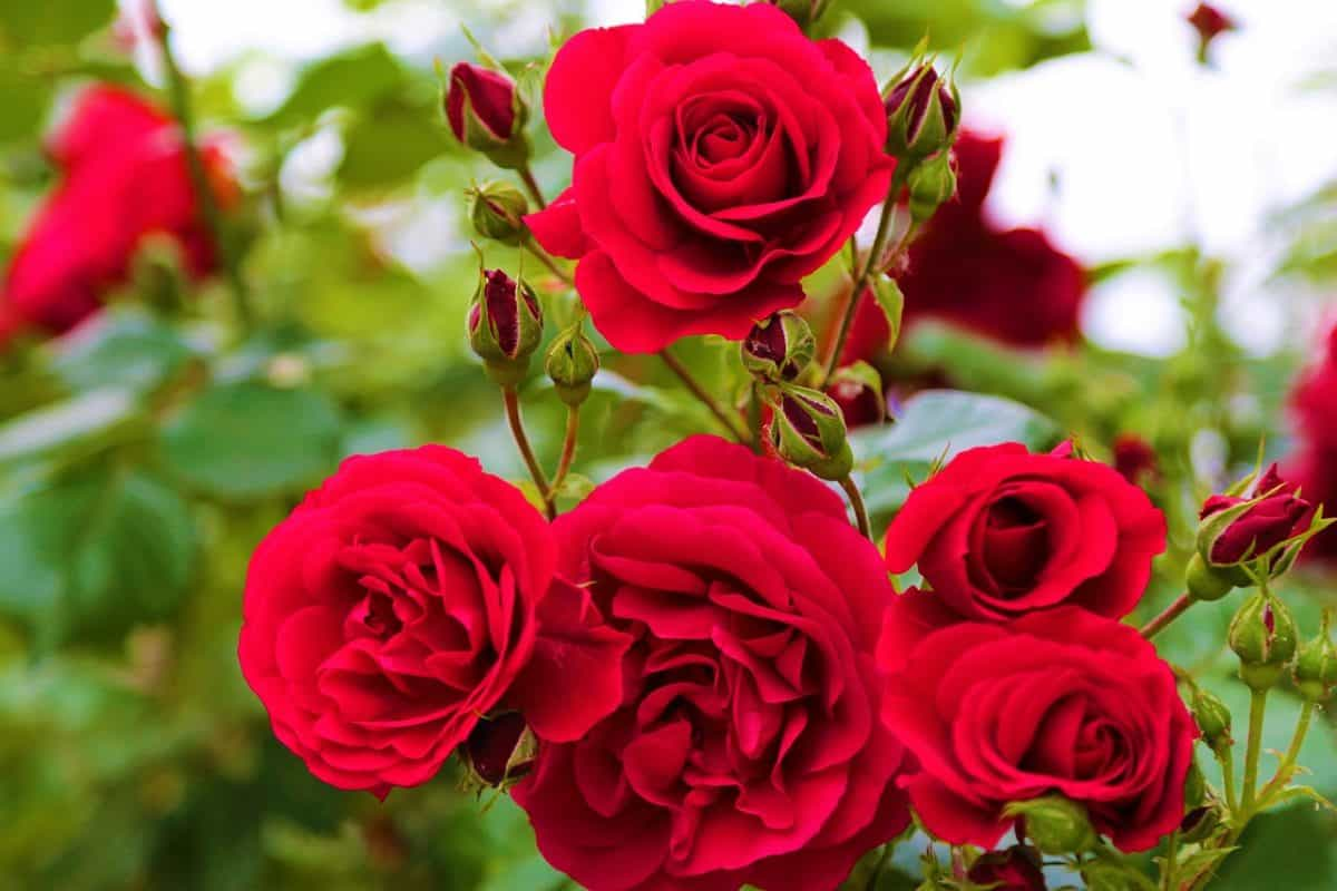 Close up of red roses