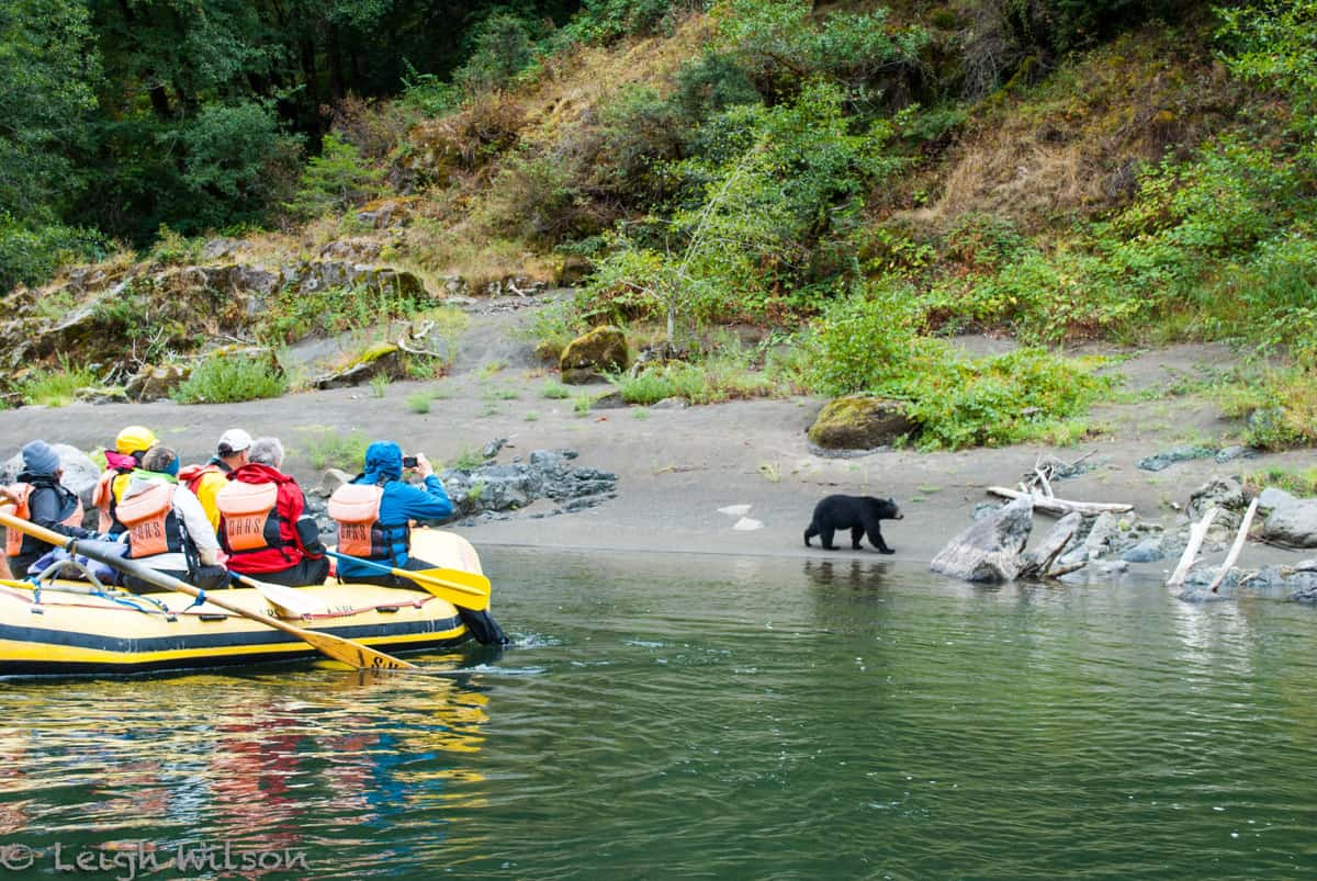 People in a raft looking at a black bear walking along the shore
