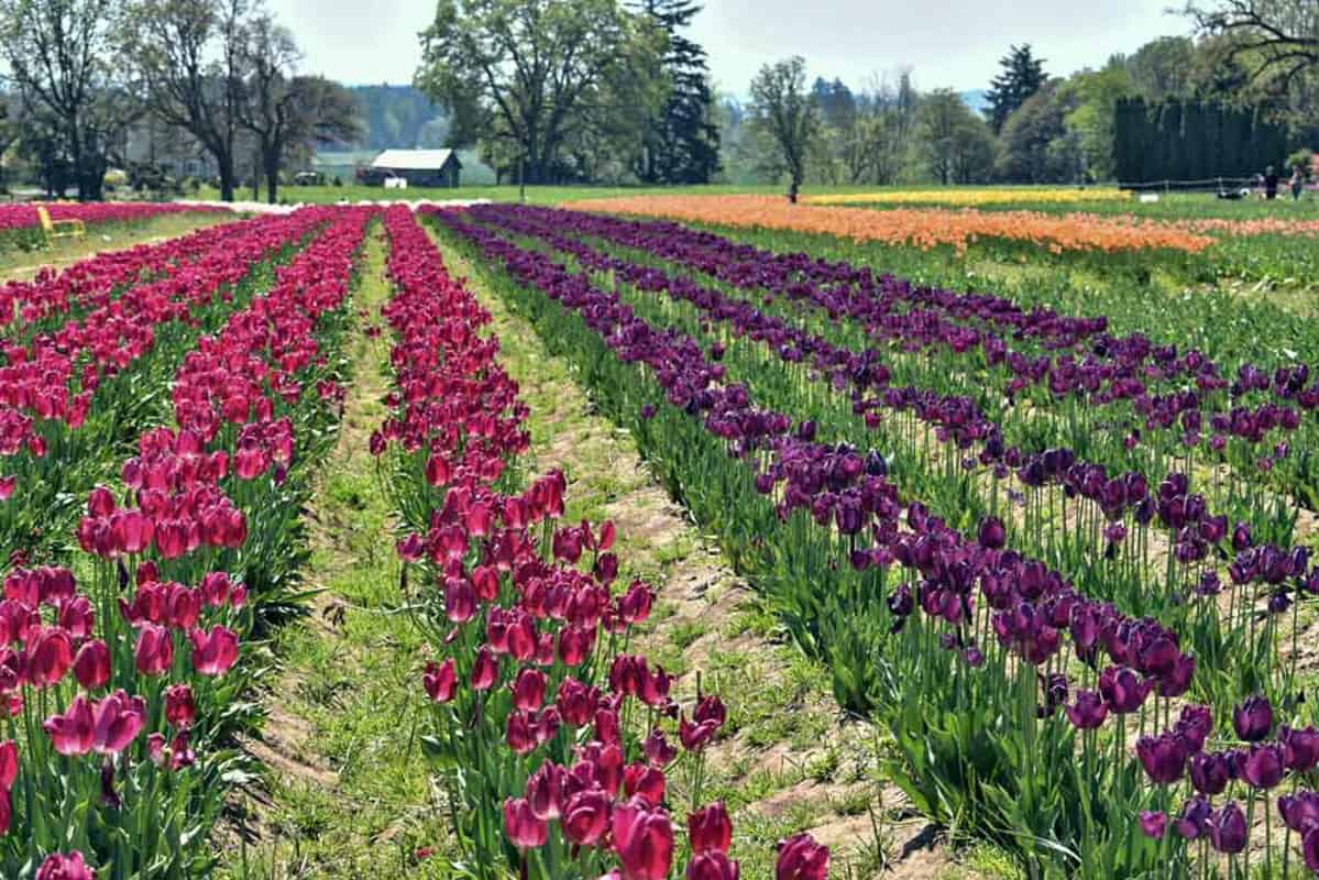 Field with rows of red, purple and yellow tulips